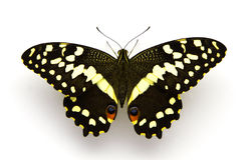 цитрус центра бабочки Стоковые Изображения
