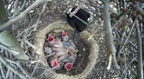 Цицеро цицеро Гнездо сороки Стоковые Фотографии RF