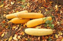 Цукини Vegetable сердцевины Стоковая Фотография