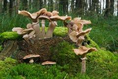 цыганские грибы Стоковое Фото