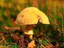 Цыганский гриб Стоковая Фотография RF