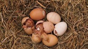 2 цыпленока насиживая от яя в гнезде сена, взгляде сверху сток-видео