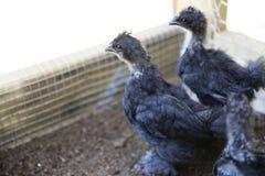 2 цыпленока Silkie Стоковое Фото