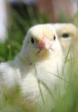 цыпленоки закрывают портрет вверх Стоковые Изображения RF