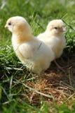 цыпленоки закрывают портрет 2 вверх Стоковое Изображение RF