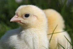 цыпленоки закрывают 2 вверх Стоковые Изображения