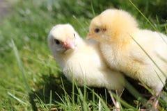 цыпленоки закрывают 2 вверх Стоковое Изображение RF