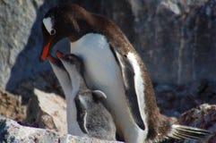 Цыпленоки мамы пингвина подавая Стоковое Изображение