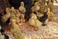 Цыпленоки младенца стоковые изображения rf