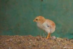 Цыпленоки младенца стоковое фото rf