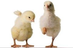 цыпленоки младенца Стоковая Фотография RF