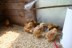 цыпленоки младенца Стоковое Изображение RF