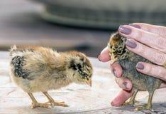 Цыпленоки, молодые цыплята стоковое изображение rf