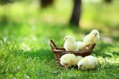 цыпленоки немногая стоковая фотография rf