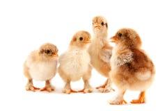цыпленоки пасха Стоковое фото RF