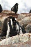 Цыпленоки пингвина Gentoo подавая в Антарктике Стоковое Изображение