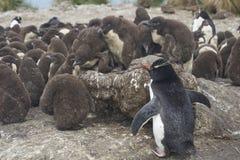 Цыпленоки пингвина Rockhopper на более суровом острове в Фолклендских островах Стоковые Изображения RF