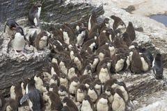 Цыпленоки пингвина Rockhopper на более суровом острове в Фолклендских островах Стоковая Фотография RF