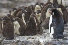 Цыпленоки пингвина Rockhopper на более суровом острове в Фолклендских островах Стоковое фото RF