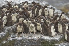 Цыпленоки пингвина Rockhopper на более суровом острове в Фолклендских островах Стоковое Изображение