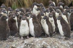 Цыпленоки пингвина Rockhopper на более суровом острове в Фолклендских островах Стоковые Фото
