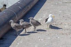 Цыпленоки чайки с родителем на пристани в заливе Lamberts, западном побережье Южной Африке стоковая фотография rf
