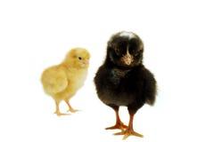 цыпленоки 2 Стоковая Фотография RF
