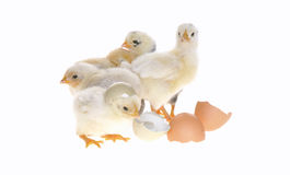 цыпленоки стоковое фото rf