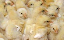цыпленоки Стоковые Фотографии RF