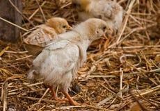 Цыпленоки стоковые изображения