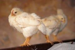цыпленоки Стоковые Фото