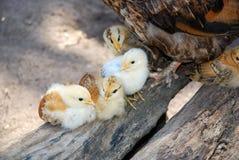 цыпленоки стоковое изображение