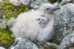 Цыпленок альбатроса на утесах стоковые изображения rf