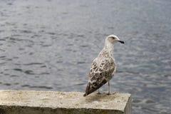 цыпленок альбатроса стоковое изображение rf