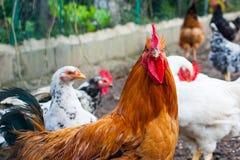 Цыпленок Брайна смотря в камеру стоковое фото rf