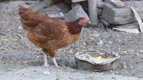 Цыпленок - время обедающего сток-видео
