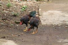 Цыпленок в версии 6 двора стоковое фото