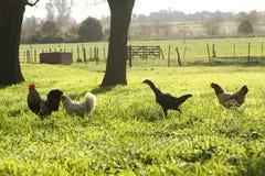 Цыпленок в ферме стоковые фото