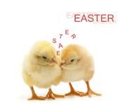 цыпленок говоря 2 Стоковая Фотография RF