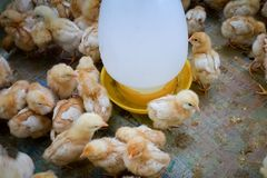 Цыпленок группы на ферме стоковое изображение rf