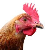 цыпленок здравствулте! Стоковая Фотография RF