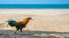 Цыпленок идя на белый пляж стоковое изображение