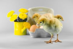 Цыпленок индюка пасхи на серой предпосылке Стоковая Фотография