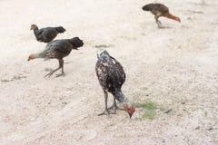 Цыпленок ищет еда на том основании стоковые фото