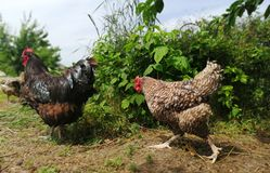 Цыпленок и петух бежать вокруг в саде стоковые фотографии rf