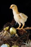 Цыпленок и яичко Стоковое Фото