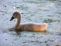 цыпленок лебедя Стоковое Изображение
