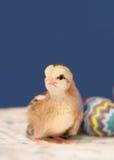 цыпленок милая пасха немногая Стоковые Изображения