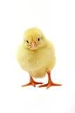 цыпленок милый Стоковое Фото