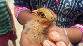 Цыпленок младенца в руках стоковые изображения rf